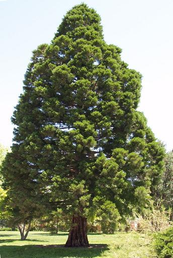 A Giant         Sequoia tree growing in Santa Fe, New Mexico